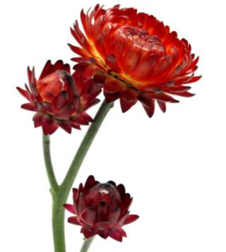 Безсмертник квітка фото