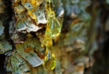 Хвойная смола – лечимся природными средствами
