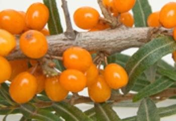 Уникальная ягода облепиха и ее полезные свойства