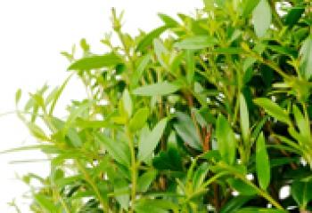Эфирное масло мирта: ароматная польза для всего организма