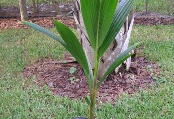 Как вырастить кокосовую пальму