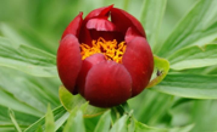 Марьин корень и его целебные свойства