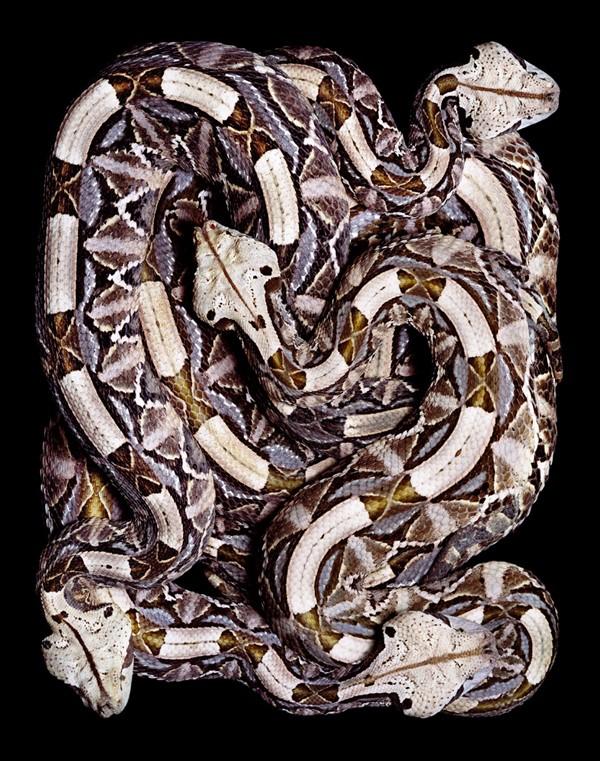"""Перед нападением... известный также как  """"мокасиновая змея """".  Самая узнаваемая гремучая змея благодаря характерным..."""